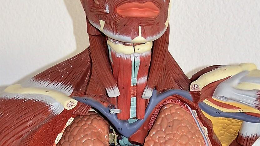 Anatomía: Laringitis recurrente, Cuello, Laringe, Nervios, - Escuela ...