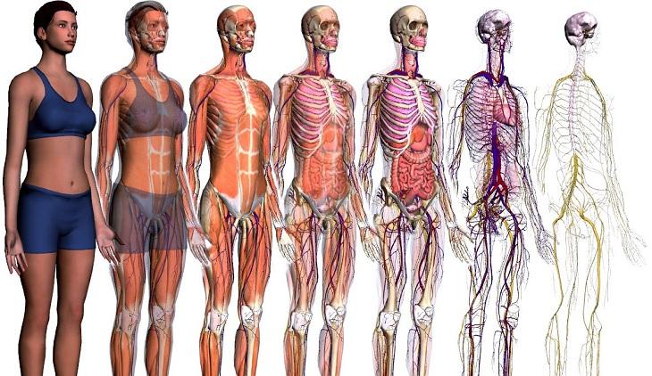 Anatomía, funciónes y consideraciones clínicas - Escuela ...
